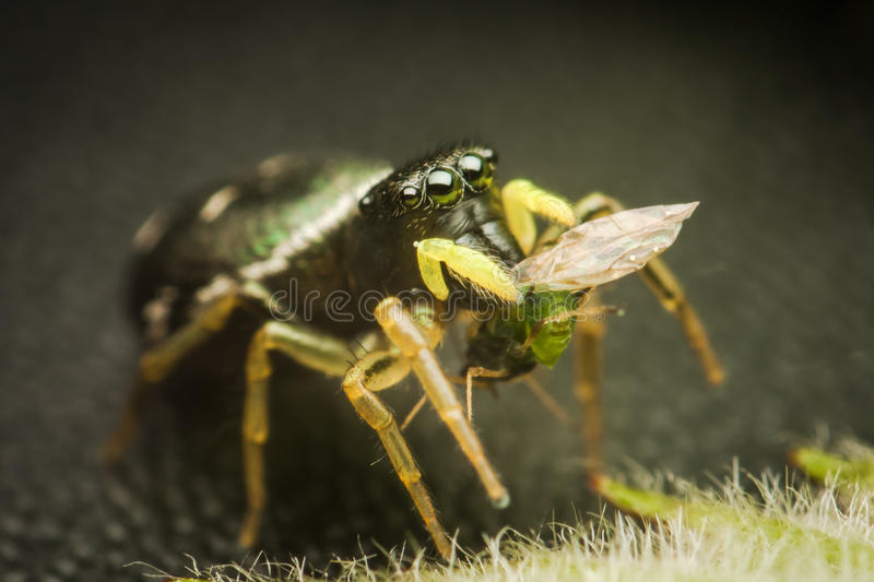 Spider eats his prey royalty free stock images