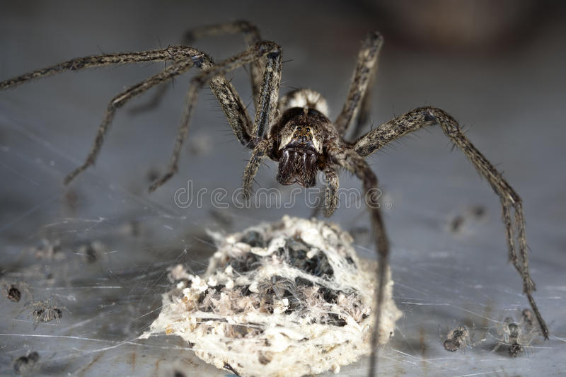 Spider With Egg stock photos