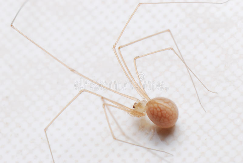 Cellar spider with eggs stock images