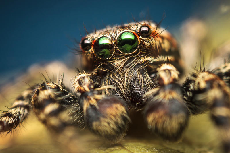 Spider extreme macro closeup. High magnification macro photo of Marpissa muscosa male jumping spider from Salticidae family of spiders, with beautiful green royalty free stock photos
