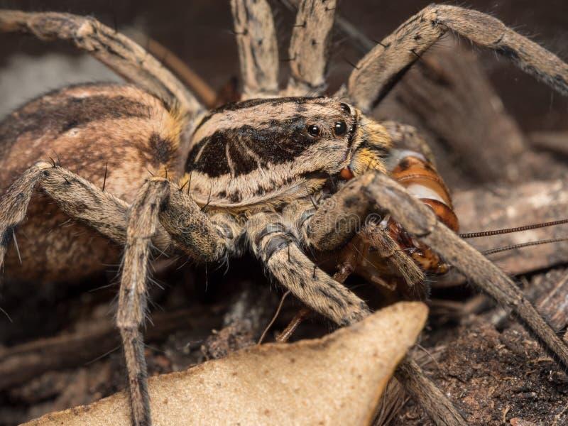 Spider feeding on a house cricket. Spider Hogna radiata fedding on a house cricket royalty free stock image
