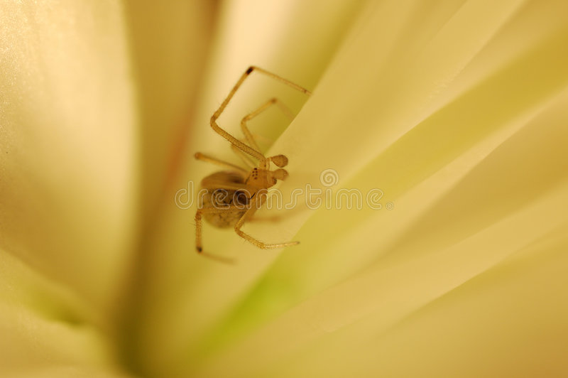 Spider in a flower royalty free stock photography