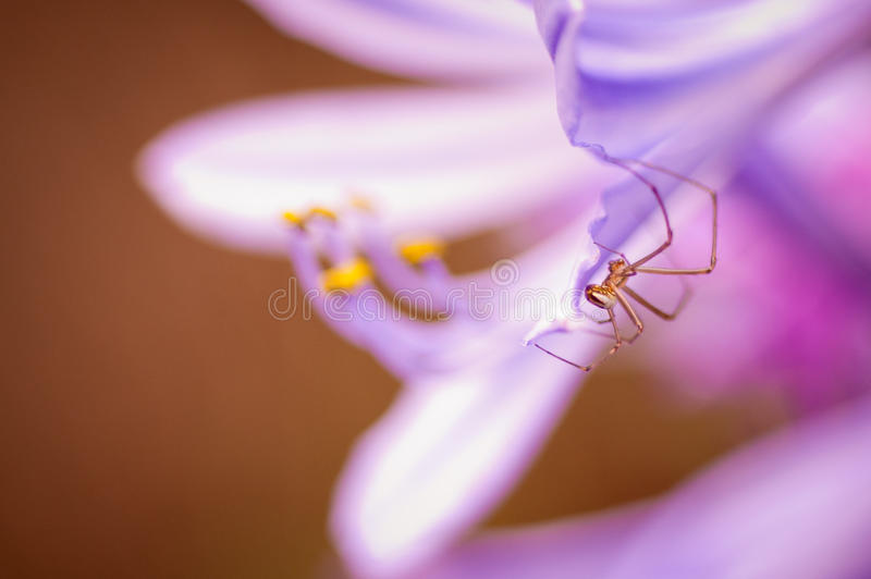 Download Spider on Flower stock photo. Image of purple, lens, garden - 24277602