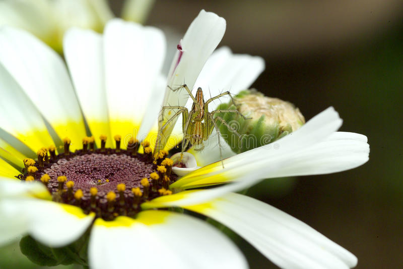 Download Spider on a flower stock image. Image of face, closeup - 24824301