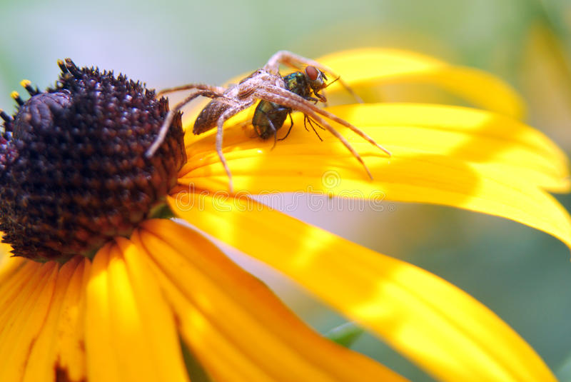 Spider with Fly Dinner on yellow flower stock photos