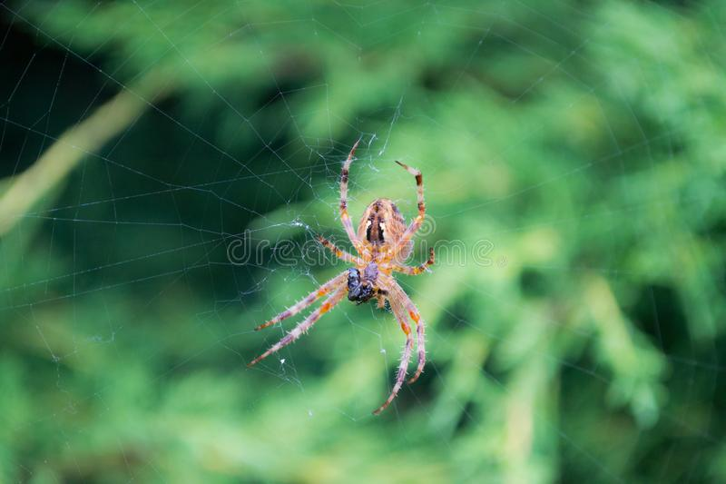 Spider in a green leaf with a spider web. Spider in a green leaf royalty free stock photos