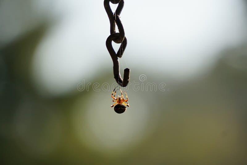 Spider Hanging stock image