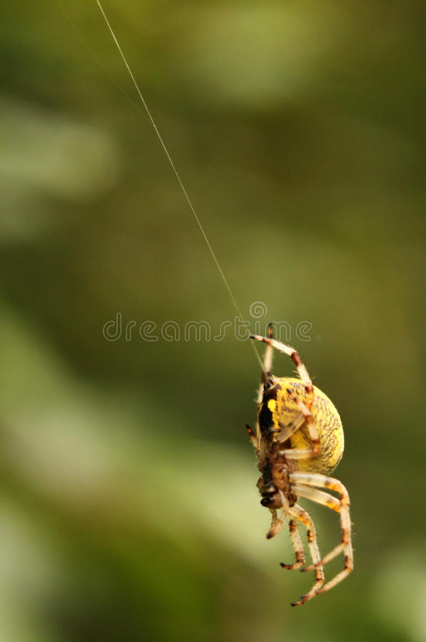 Download Spider hanging on its web stock photo. Image of nature - 26635136