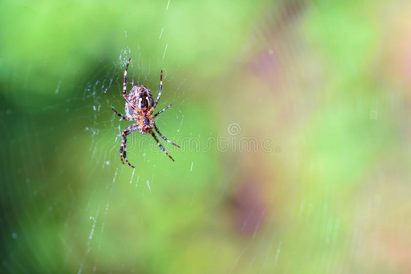 Spider hangs on the web in the forest, copypaste. Spider hangs on the web in forest, copypaste royalty free stock photography