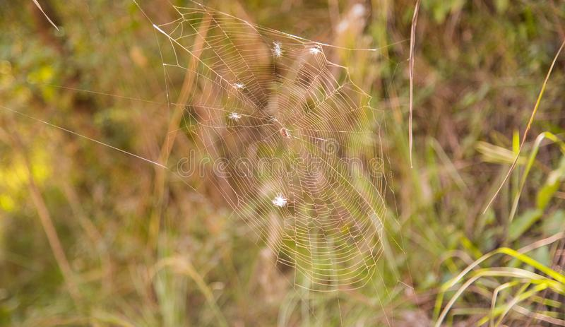 Spider and his morning web royalty free stock photo