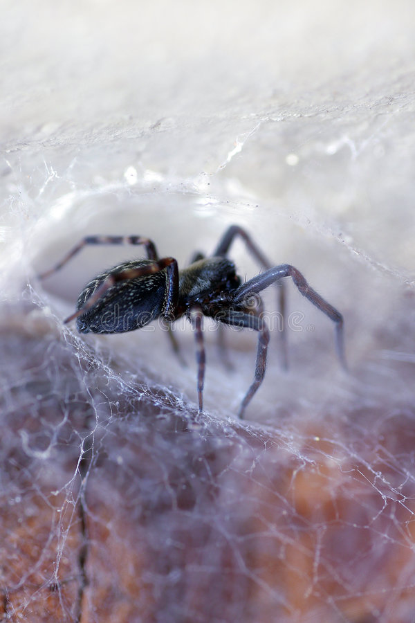 Spider in his Web (badumna insignis) royalty free stock photo