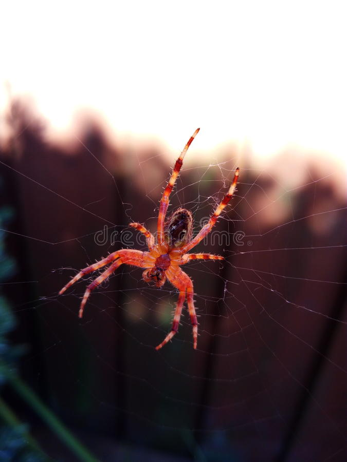Spider on his web royalty free stock images