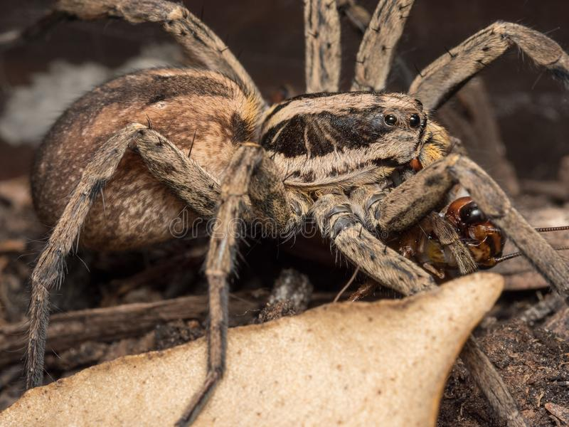 Spider feeding on a house cricket. Spider Hogna radiata fedding on a house cricket royalty free stock images