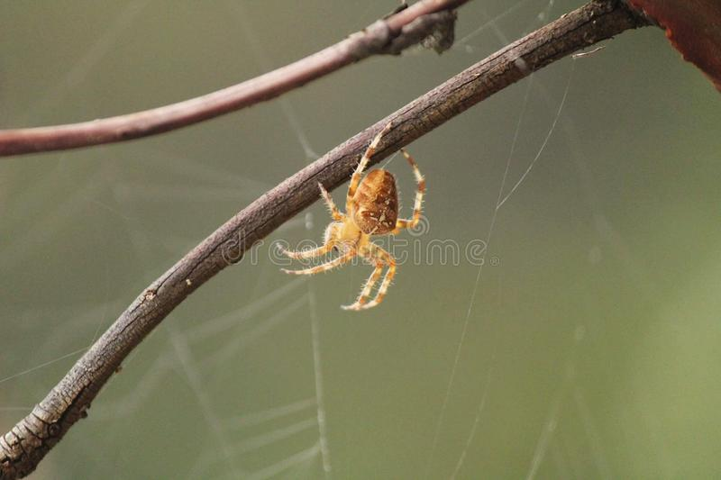 Spider at home royalty free stock photography