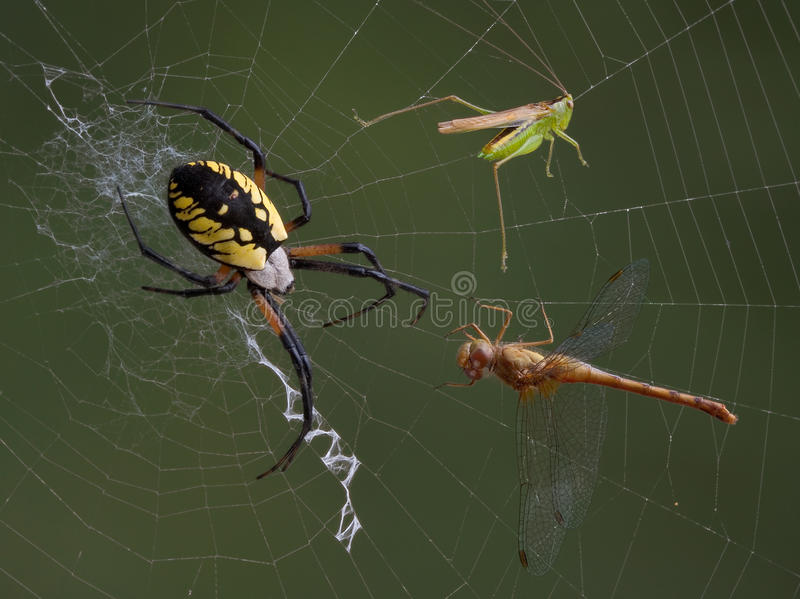 Download Spider, Hopper, And Dragonfly In Web Stock Photo - Image: 10859018