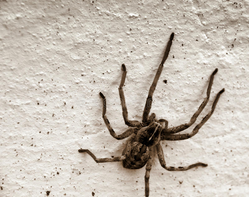 Spider. A huge spider on a whitewashed wall royalty free stock photo