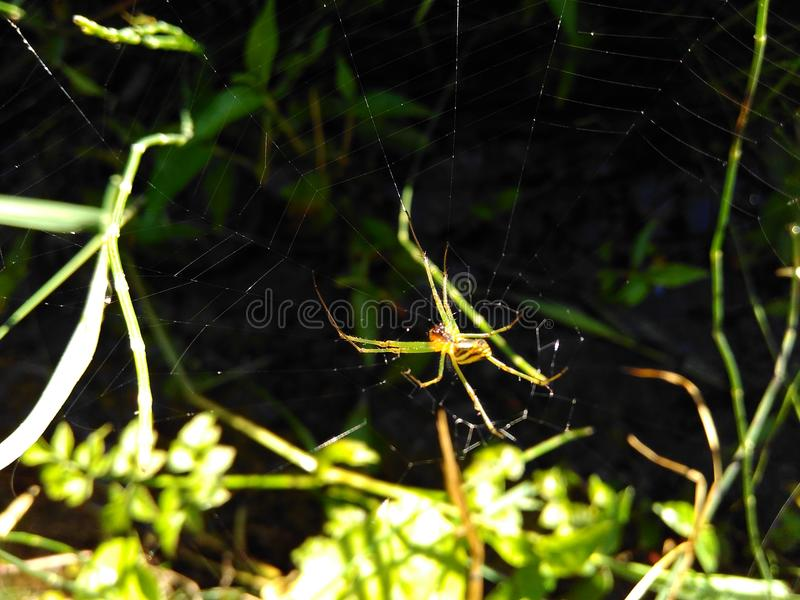 The spider hunter royalty free stock photo