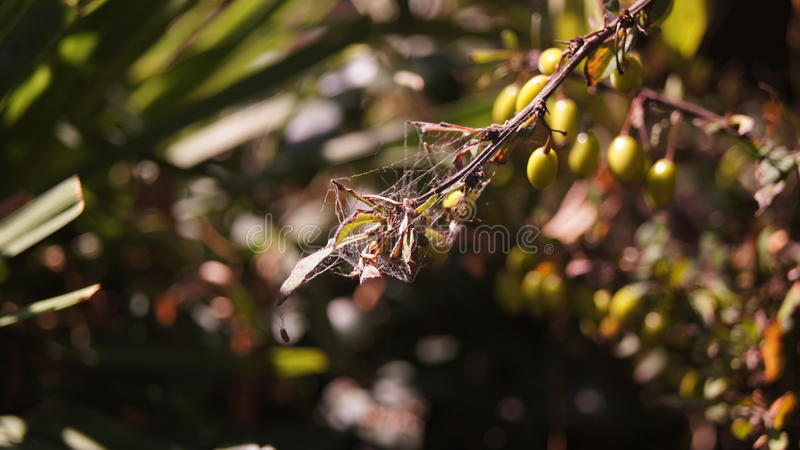 Spider hunting stock photography