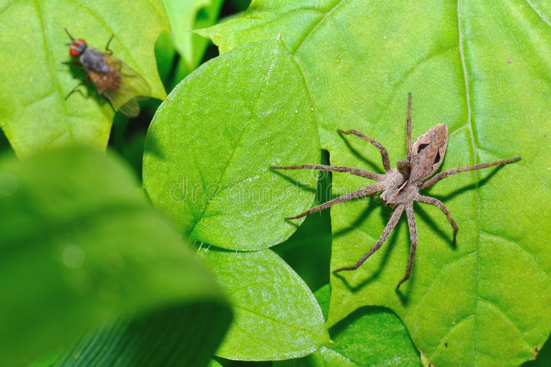 The spider hunts on a fly stock images