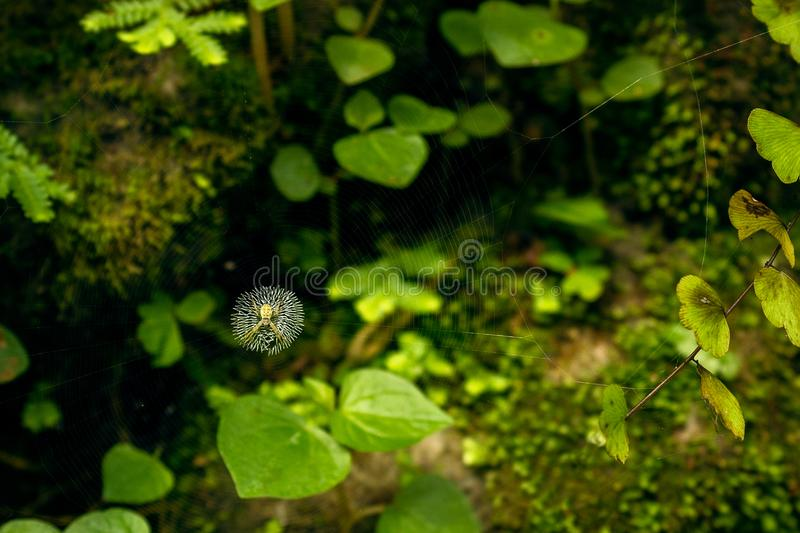 Spider with Invisible Web. The spider and the dark moody greenery makes his trap invisible stock photos