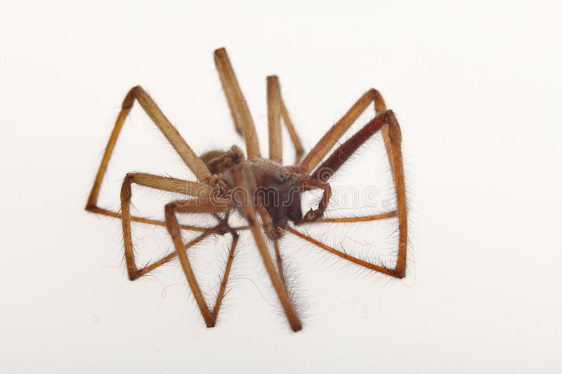 Download Spider isolated stock image. Image of isolated, brown - 18366315