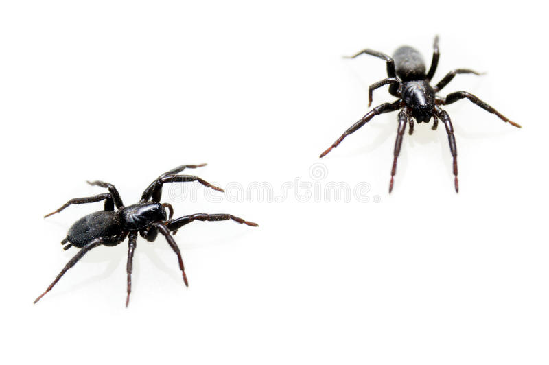 Spider isolated on white background royalty free stock photo