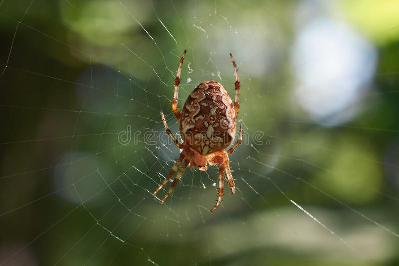 Spider in its network. Cross tee spider in its network eats prey royalty free stock images
