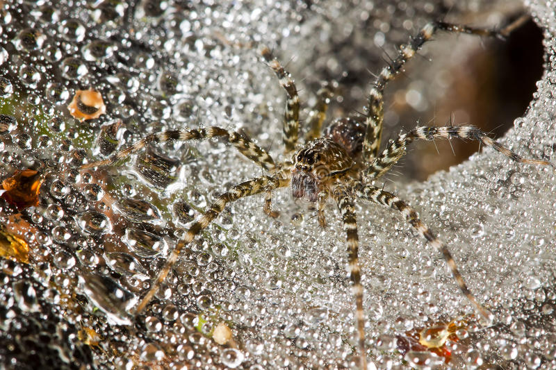 Download Spider in its web stock photo. Image of circle, pearls - 26655478