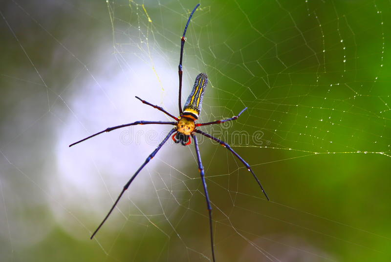A Spider and Its Web. Photo of a Spider and its web royalty free stock images