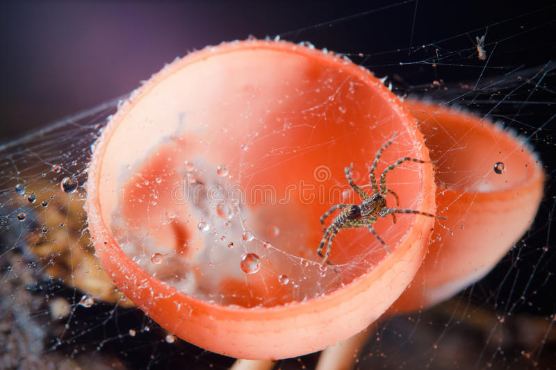 Spider In Its Web And Red Mushroom Stock Photos