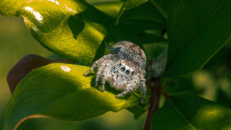 Spider jumping on the leaves of the tree royalty free stock images