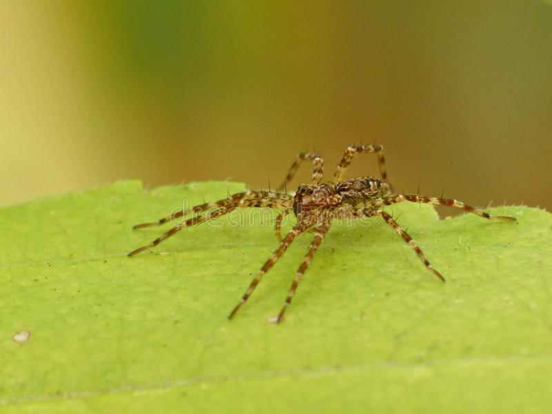 Spider on Leaf. Spider sitting on a yellow-green leaf stock image