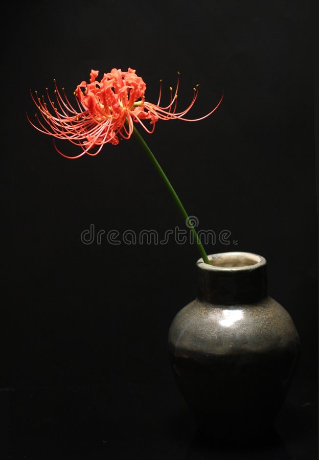Free Spider Lily Stock Photography - 6615832