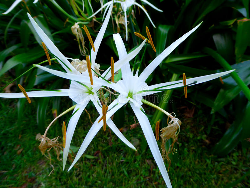 Spider lily flowering stock image