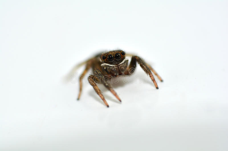 Spider macro. Macro of jumping spider looking furiously royalty free stock image