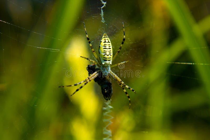 Download Spider (Mass break) stock image. Image of dinner, spider - 25554035