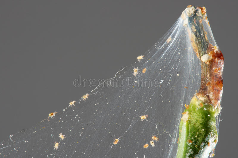 Spider mite. On the branch of a lemon (Tetranychinae stock images