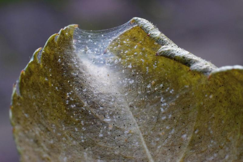 Spider mite colony, Tetranychus. Rose leaf covered with microscopic web of spider mite colony. Plant disease stock photo