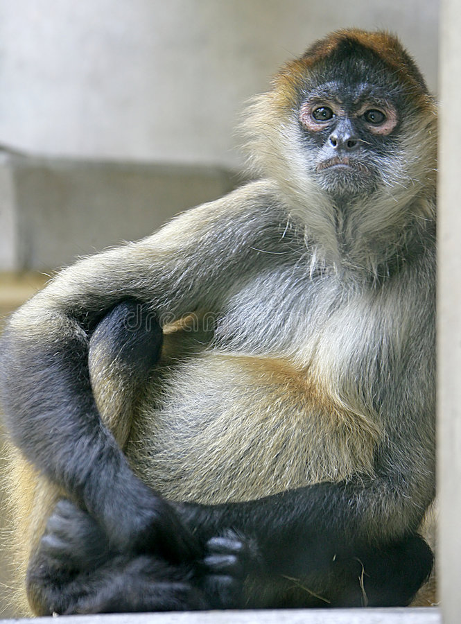 Download Spider monkey 1 stock image. Image of animal, jump, cunning - 2491789
