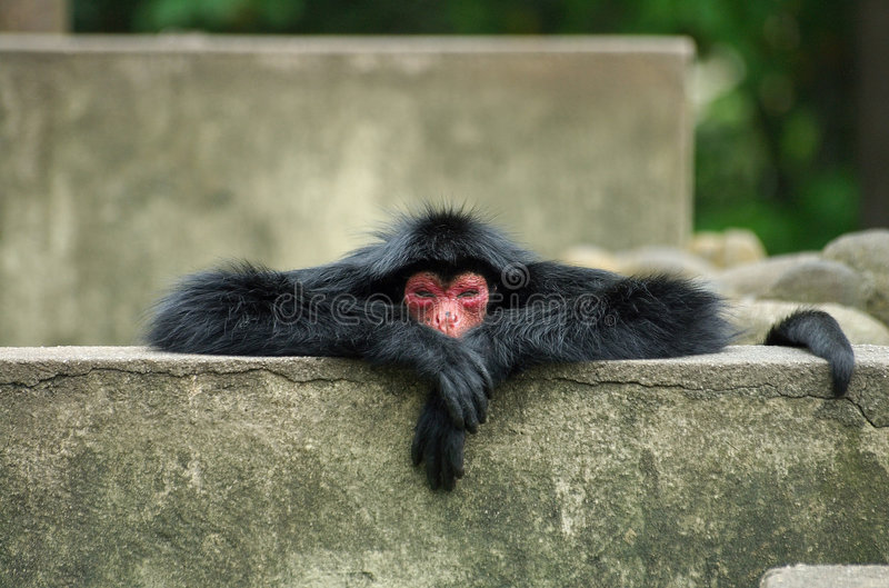 Spider Monkey stock photos