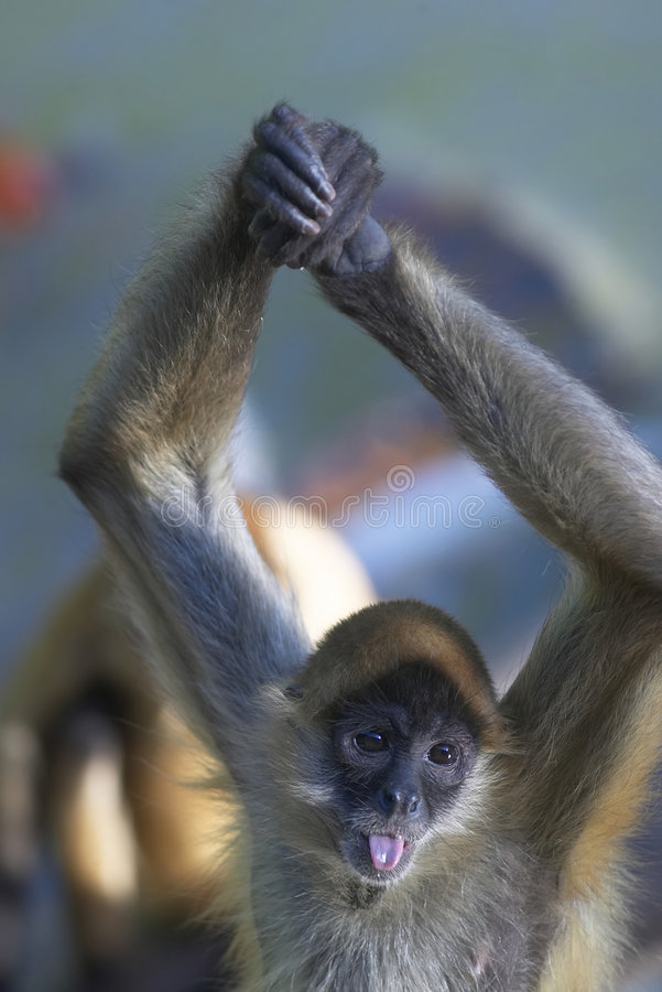 Spider Monkey. A spider monkey in a zoo holding its arms above its head and sticking its tongue out royalty free stock images