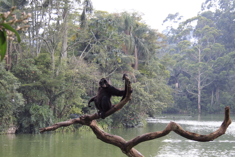 Download Spider Monkey stock image. Image of america, brazil, lake - 496397
