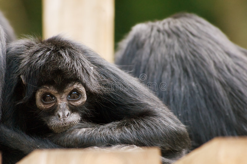 Download Spider Monkey Stock Image - Image: 5279991