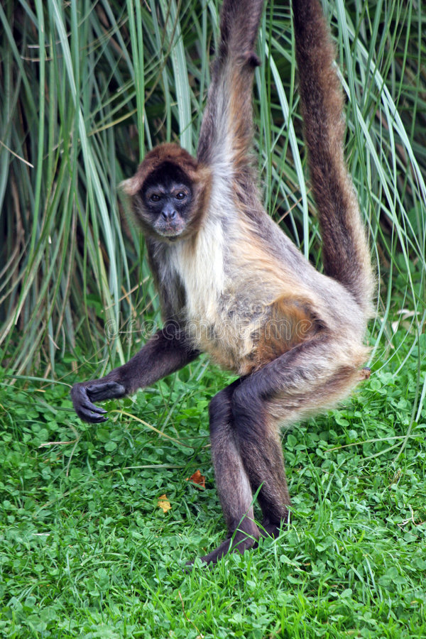 Download Spider Monkey stock photo. Image of american, arboreal - 7899234