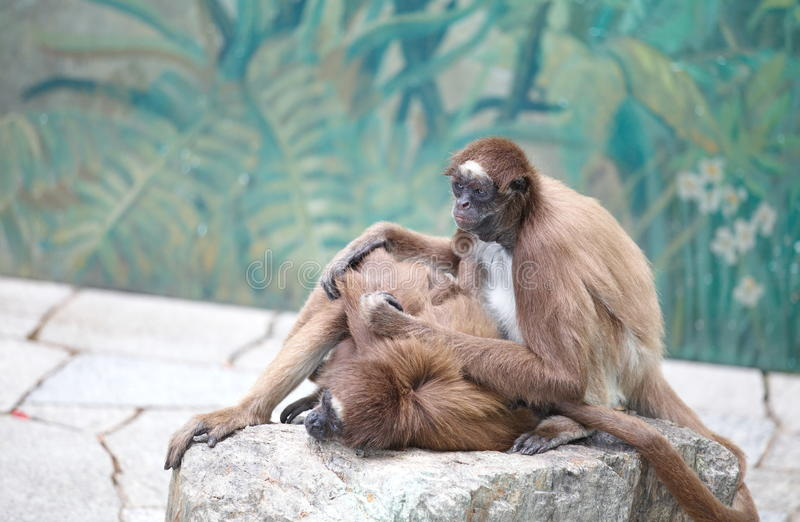 Spider monkey. Animal photo of spider monkey from the zoo stock photo