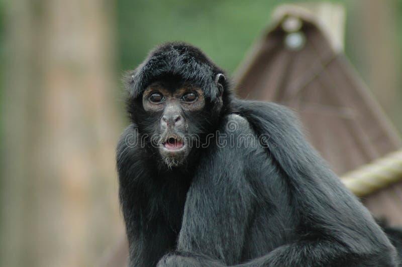 Spider monkey (Ateles fusciceps) stock images