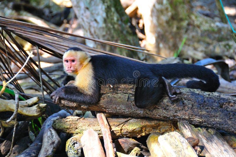 Spider Monkey, Costa Rica royalty free stock photos