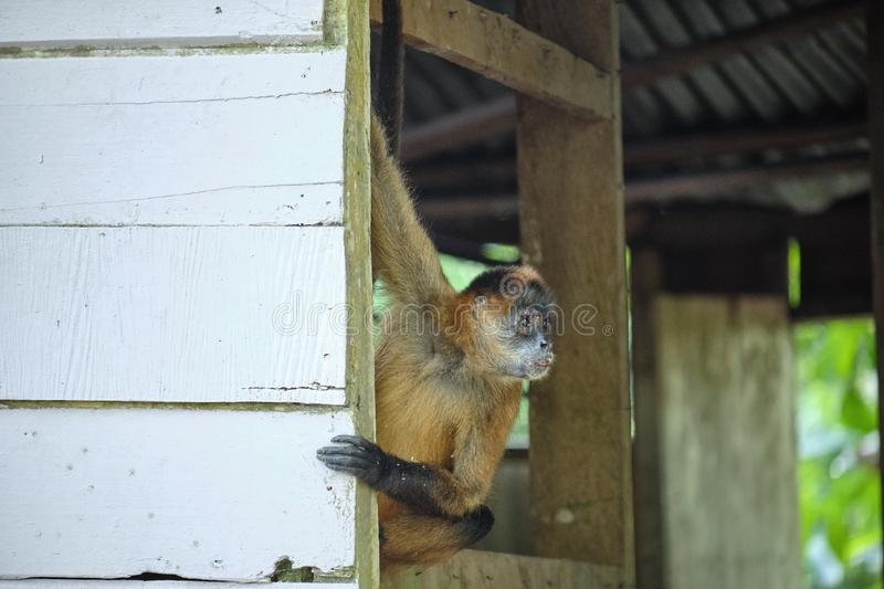 Costa Rican Spider Monkey in the rain forest living in an abandoned shed royalty free stock photo