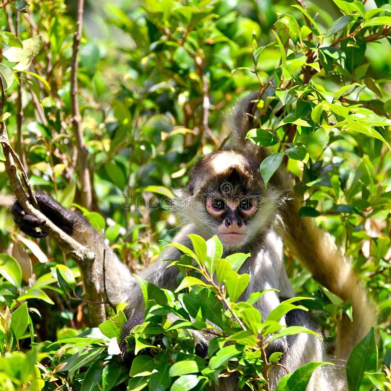 Download Spider Monkey In The Forest Stock Image - Image: 23477215