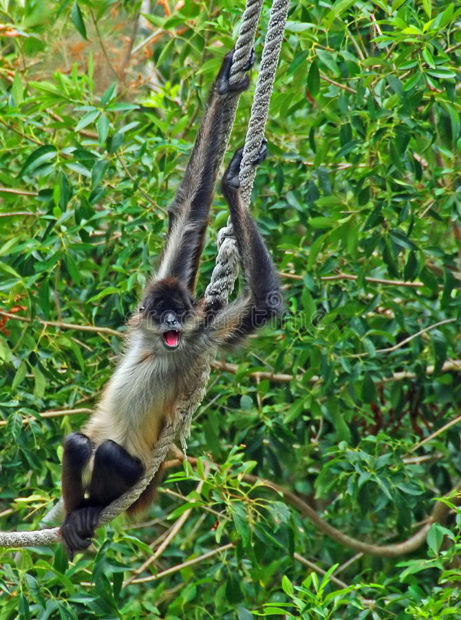 Spider monkey on rope #4 stock photo